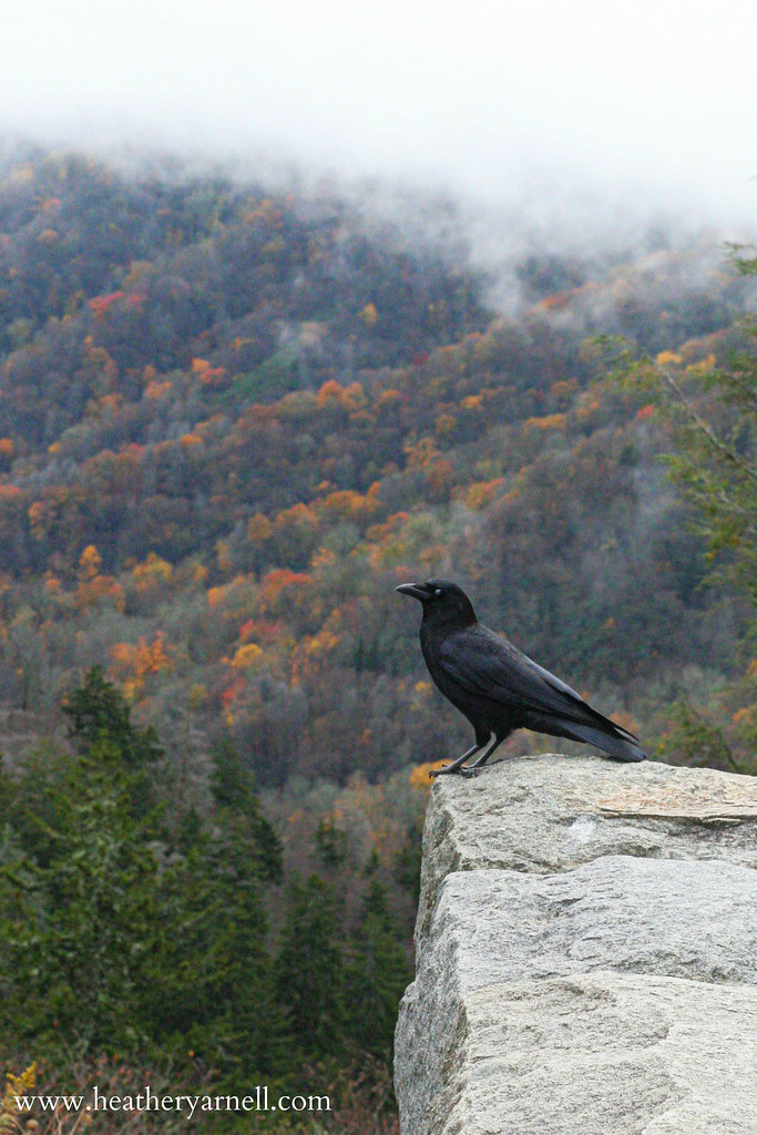 Crow in the Smoky Mountains in Fall