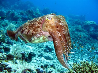 Hooded Cuttlefish | by prilfish