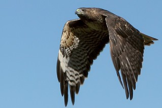 Redtailed hawk, close | by wolfpix