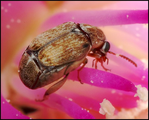 Beetle on Cholla Cactus Flower | by gauchocat