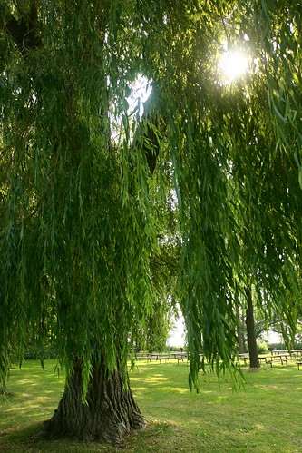 Willow tree with sun beams shining through the leaves