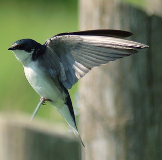 Tree Swallow | by cathmads