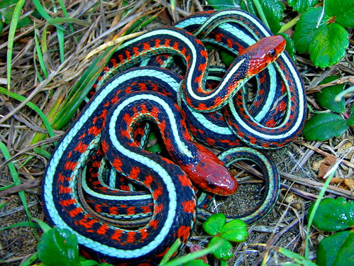 Mating, Thamnophis sirtalis infernalis; California Red-sided Garter Snake | by vabbley