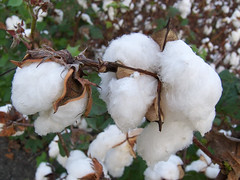 Cotton 2 | by AnEyeForTexas