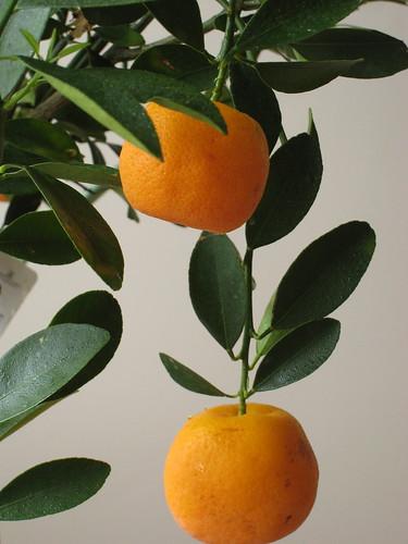 citrus mitis flickr photo sharing. Black Bedroom Furniture Sets. Home Design Ideas
