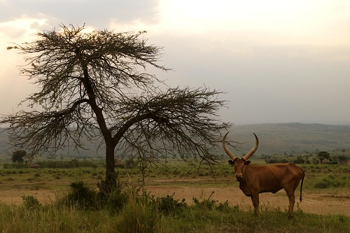Cattle grazing in Akagera National Park