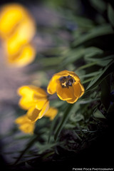 Freelensing Tulips | by Pierre Pocs