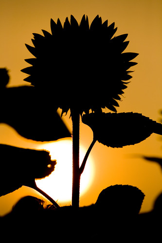 1339 - Sunflower Silhouette 2 | by Artistic Pursuits-Rob Strovers