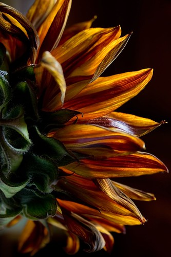 Sunflower | by megacampiona