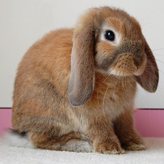 Mini Lop doe sitting | by Marie Godliman