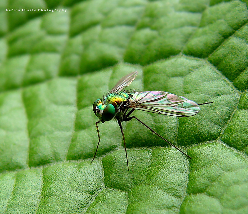 Dolichopodidae / Long-Legged Fly
