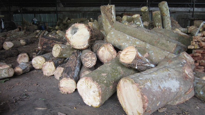nguyên liêu gỗ cao su - gỗ tròn