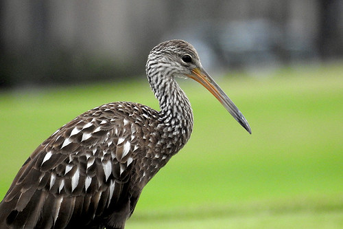 FL: Limpkin by Zach