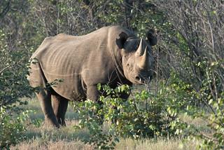 Schwarzes Rhino im Ongava Game Reserve