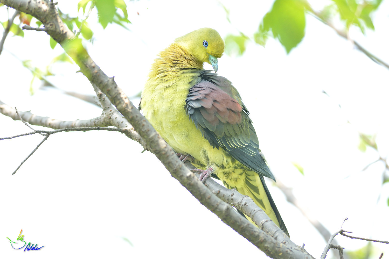 White-bellied_Green_Pigeon_5903