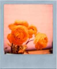 Ranunkel-Spring-Pola