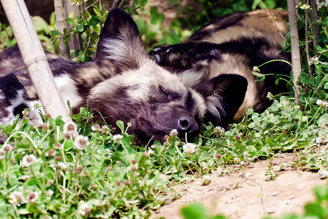 African Hunting Dog is Sleeping of Zoorasia : 睡眠中のリカオン