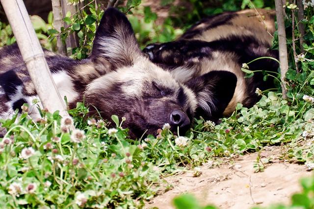 African Hunting Dog is Sleeping of Zoorasia : 睡眠中のリカオン