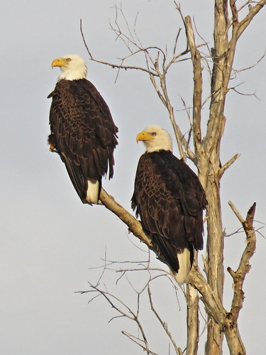 Bald Eagles Powershot SX700 HS 30x plus 1.3 digital 20160129