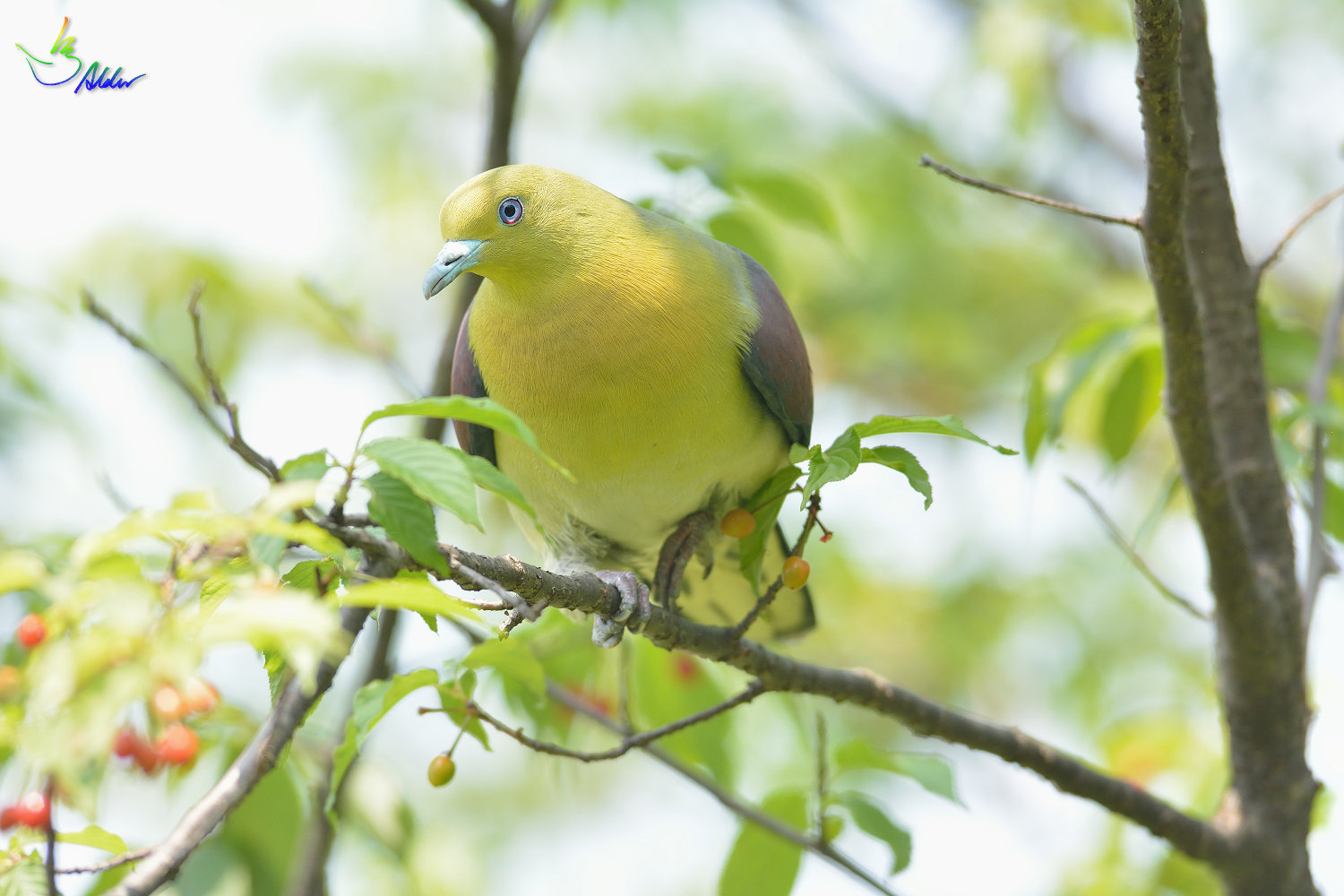 White-bellied_Green_Pigeon_5931
