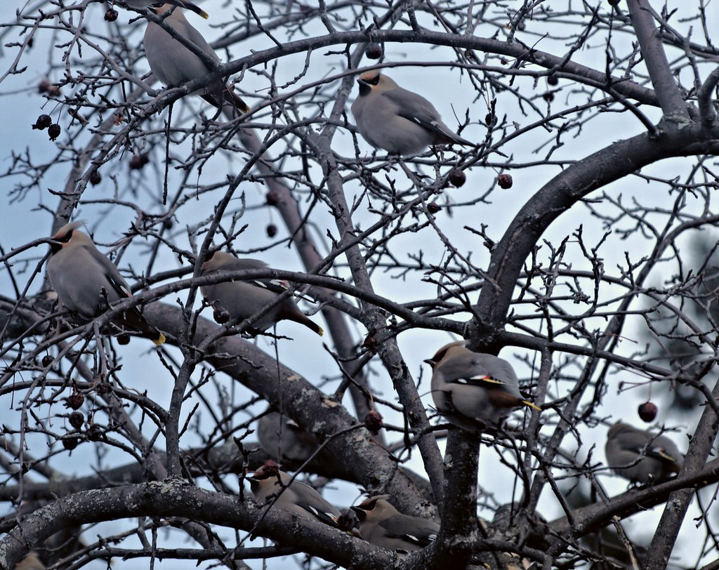 Bohemian Waxwings in the Apple Tree