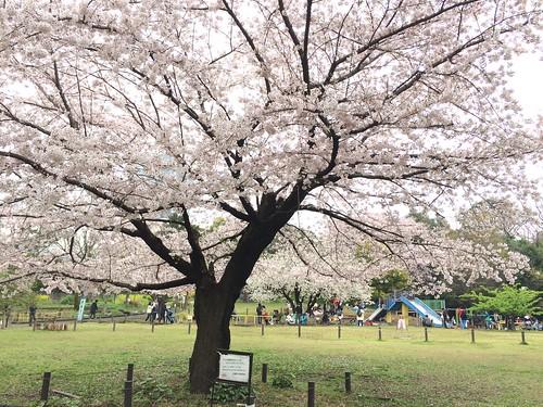 菅刈公園の桜 2016.4.3