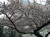 新宿御苑前駐車場の桜