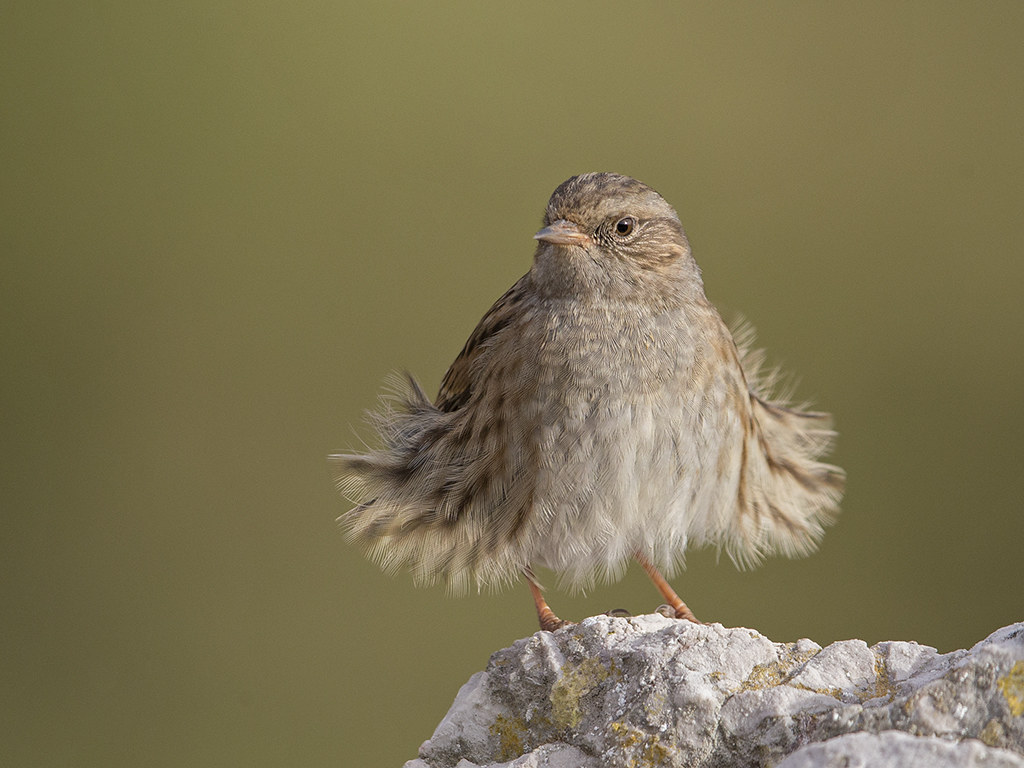 The mythical Hedge Sparrow      Llandudno