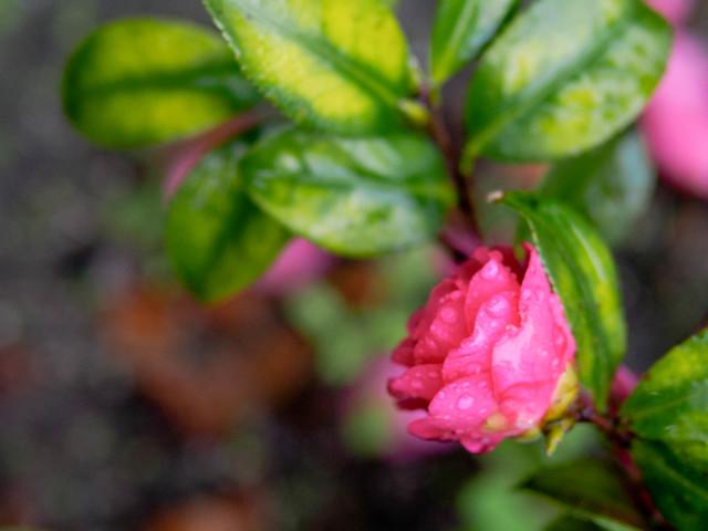 Camellia?