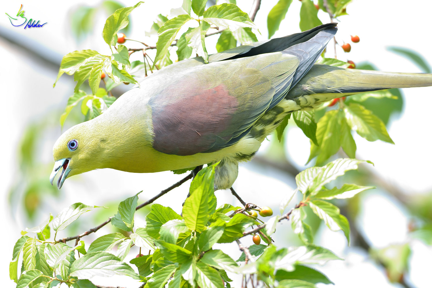 White-bellied_Green_Pigeon_6014