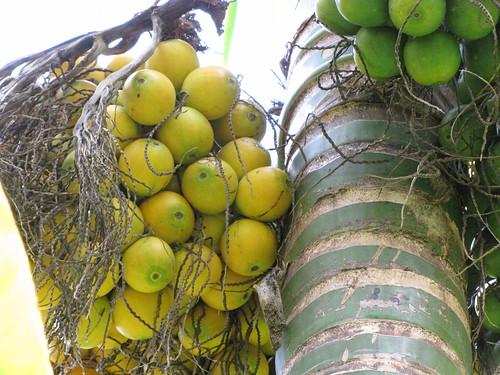 starr-120522-6059-Areca_catechu-fruit-Iao_Tropical_Gardens_of_Maui-Maui
