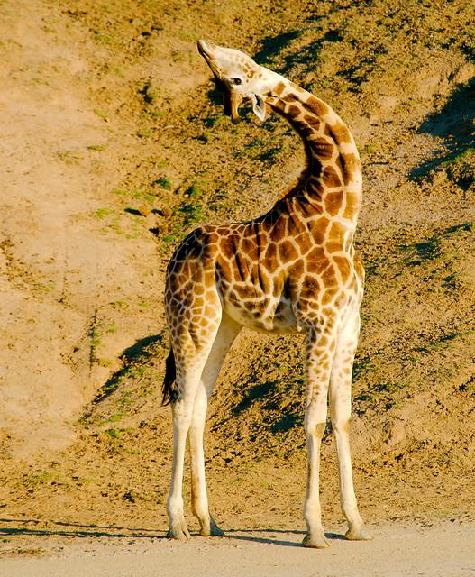 Giraffe (Giraffa camelopardalis)_16
