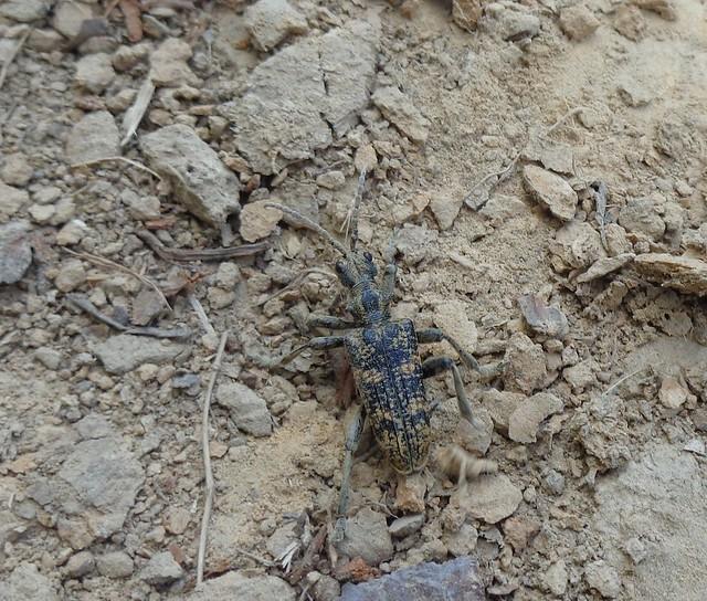 Kousavec páskovaný (Rhagium sycophanta)