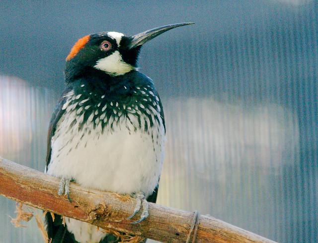 Acorn Woodpecker (Melanerpes formicivorus)_6