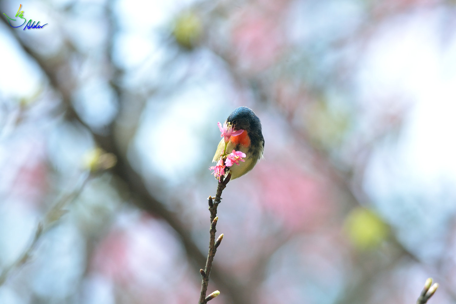 Fire-breasted_Flowerpecker_1763