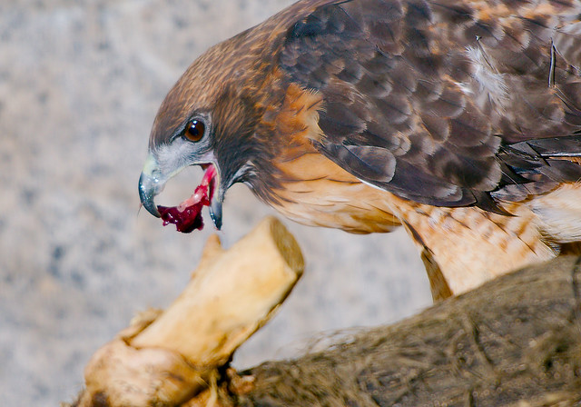 Red-tailed Hawk (Buteo jamaicensis)_4