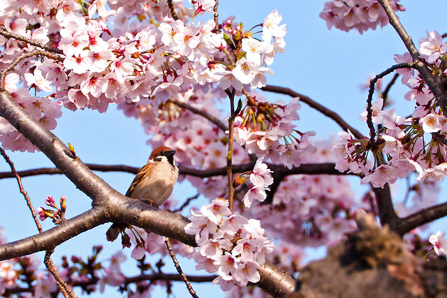 Cherry Blossoms and Sparrow : 桜とスズメ