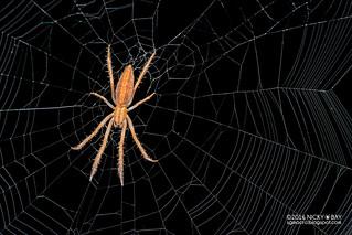 Orb weaver spider (Lipocrea sp.) - DSC_1430