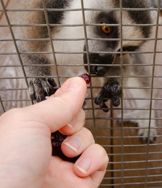 Lemur_7_v2