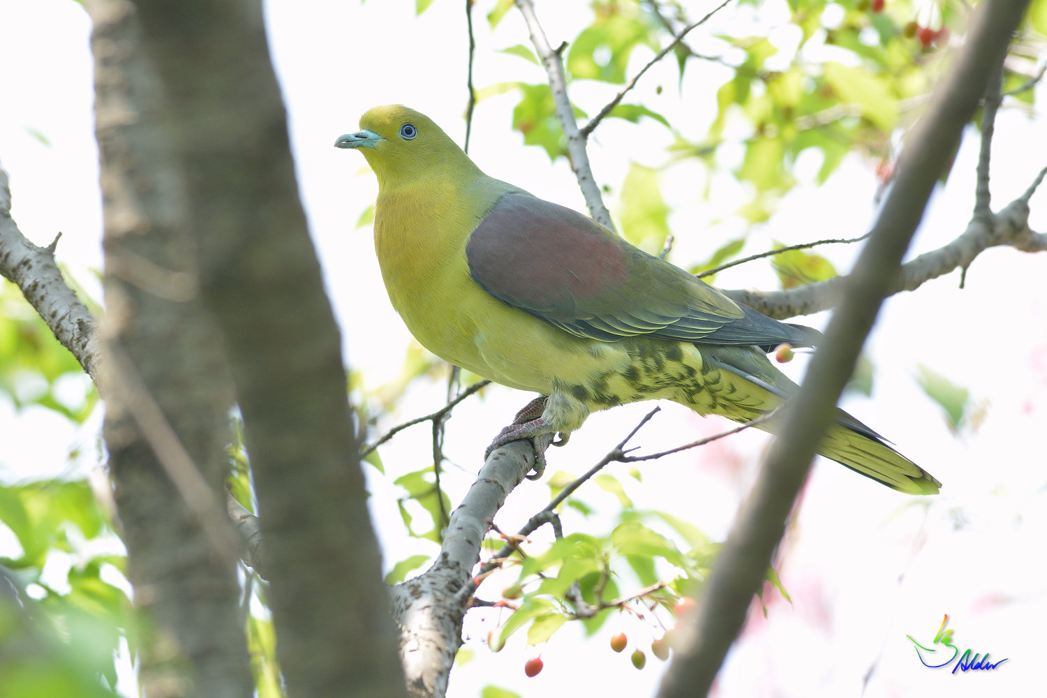 White-bellied_Green_Pigeon_5361