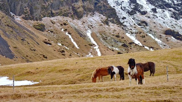 Iceland horses  I Iceland