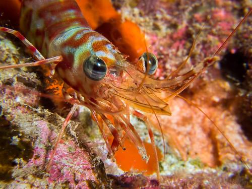Banded hinge-beak shrimp (Cinetorhynchus fasciatus)