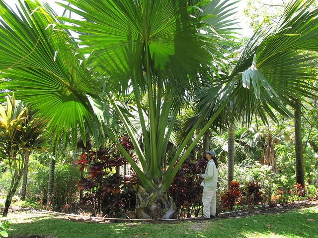 starr-120522-6352-Corypha_umbraculifera-giant_habit_with_Kim-Iao_Tropical_Gardens_of_Maui-Maui