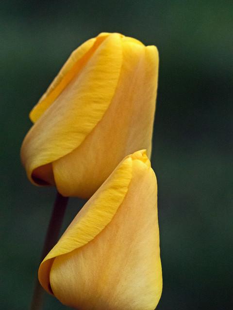 Tulip 023