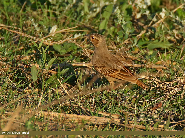 Indian Bush Lark (Mirafra erythroptera)