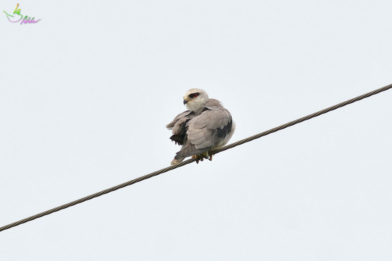 Black-shouldered_Kite_3821