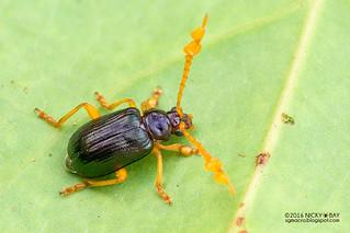 Leaf beetle (Galerucinae) - DSC_5138