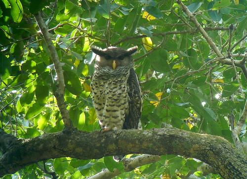 Spot-bellied eagle-owl/Grand-duc du Nepal (Bubo nepalensis)