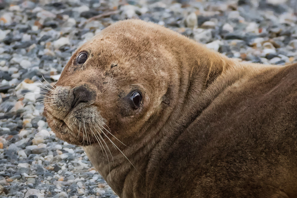 Southern Sea Lion portrait