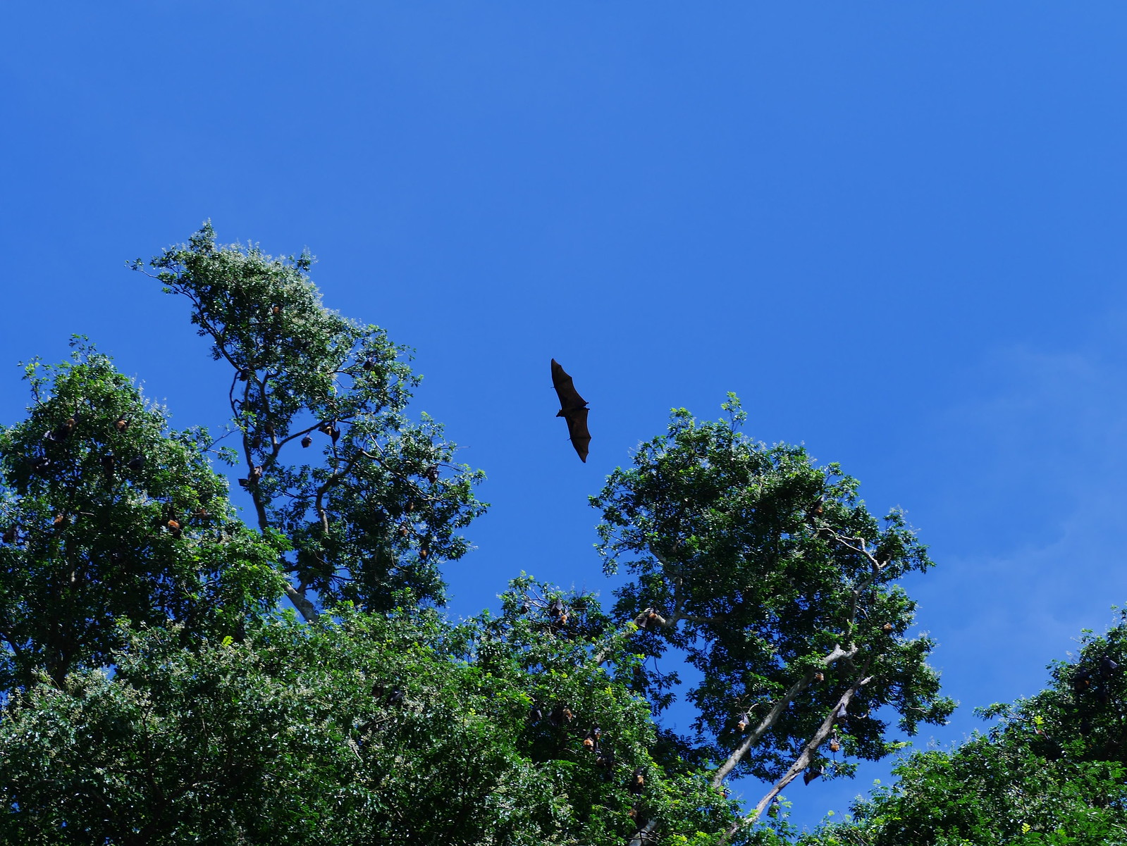Flying Fox, flying.(Kandy Botanical Gardens, Sri Lanka)
